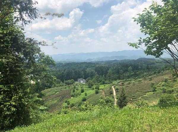 """9%的森林覆盖率,按照""""茶区变景区,茶园变公园,茶山变金山""""的茶旅,农旅"""
