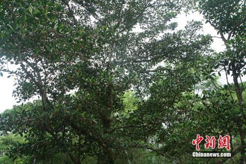 图为海南东寨港国家级自然保护区的红树科植物。<a target='_blank' href='http://www.chinanews.com/' ><p align=