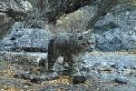 (图文互动)(2)新疆:天山冬季雪豹调查取得阶段性成果