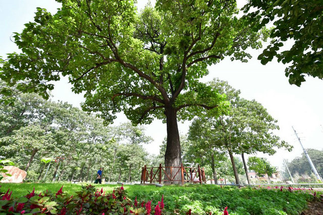 """游客从兰考焦裕禄干部学院门口的""""焦桐""""下走过(2017年8月9日摄)。这棵泡桐是焦裕禄当年亲手种下,被人们称为""""焦桐""""。"""