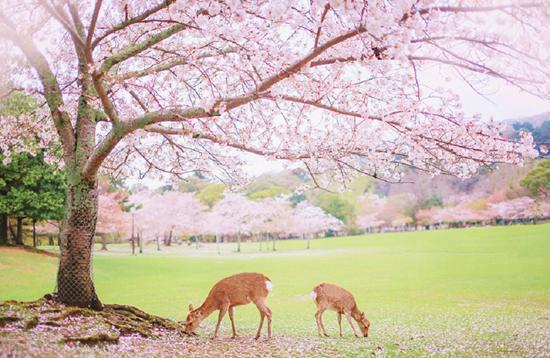 奈良公园樱花。HHtravel鸿鹄逸游供图