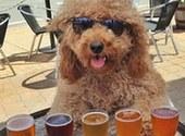 美金毛贵宾犬享受加拿大东海岸旅行生活似神仙