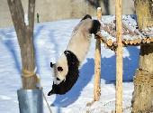 """(社会)(1)辽宁沈阳:""""功夫熊猫""""雪中显身手"""