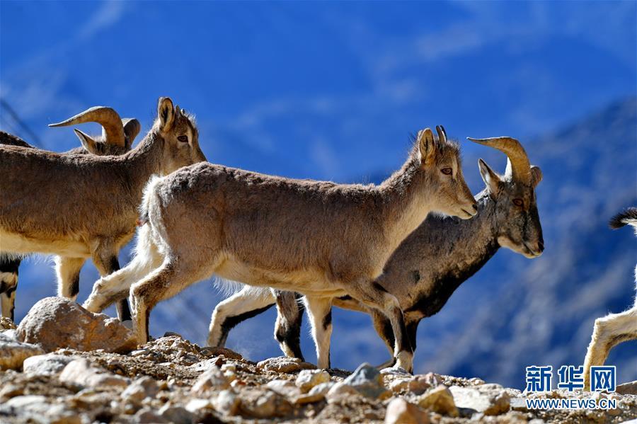 (环境)(1)珠峰保护区:野生动物的栖息乐园