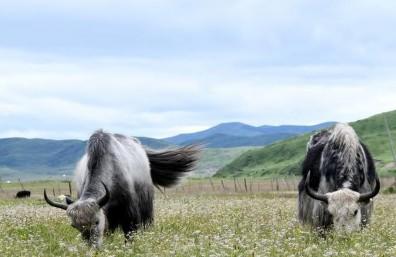 (经济)(1)四川藏乡牦牛产业升级助牧民增收